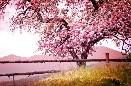 Spring landscape with cherry tree and mountains in the background