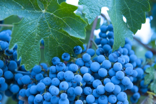 Zinfandel grapes in a vineyard