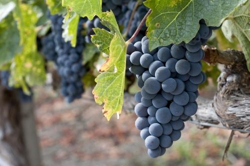 Zinfandel grape growing in a vineyard.