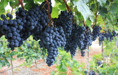 Blue grapes in a vineyard.