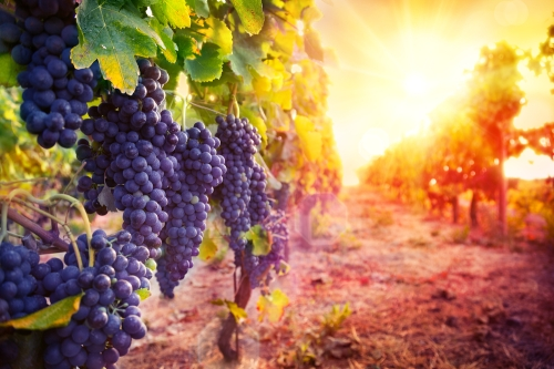 Closeup of grapes growing in a vineyard